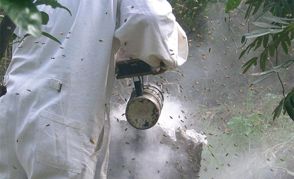 A beekeeper smokes his bees.